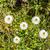 margaridas · prado · verde · primavera · tempo - foto stock © meinzahn