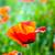 beautiful poppy flowers in the meadow stock photo © meinzahn