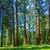 óriásfenyő · fa · erdő · híres · nagy · fák - stock fotó © meinzahn