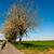bicycle lane under blooming tree in spring stock photo © meinzahn