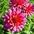 beautiful blooming dahlia in flower bed stock photo © meinzahn