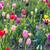 veld · gouden · Geel · tulpen · holland · natuur - stockfoto © meinzahn