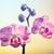 roze · orchidee · bloem · selectieve · aandacht · witte - stockfoto © melpomene
