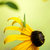 rudbeckia flowers with grasshopper stock photo © melpomene