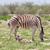 zebra · Namibya · park · Afrika · yüz - stok fotoğraf © michaklootwijk