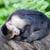 capuchin monkey cebus capucinus stock photo © michaklootwijk