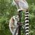 Ring-tailed lemurs sitting on tripod stock photo © michaklootwijk