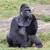 erkek · goril · siyah · maymun · hayvanat · bahçesi · memeli - stok fotoğraf © michaklootwijk