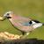 A Jay bird (Garrulus glandarius) stock photo © michaklootwijk