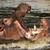 two fighting hippos hippopotamus amphibius stock photo © michaklootwijk