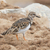 sandpiper on the beach at cape cross stock photo © michaklootwijk