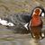zwemmen · holland · herder · portret · rivier · water - stockfoto © michaklootwijk