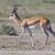 springbok antelope antidorcas marsupialis stock photo © michaklootwijk