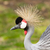 a crowned crane stock photo © michaklootwijk