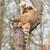 coatimundi scratching himself stock photo © michaklootwijk