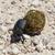 жук · редкий · ЮАР · мяча · Африка · насекомое - Сток-фото © michaklootwijk