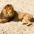 lion resting stock photo © michaklootwijk
