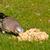 kuş · yeme · yer · fıstığı · gıda · göz · güzellik - stok fotoğraf © michaklootwijk