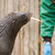 South American Sea Lion (Otaria flavescens) stock photo © michaklootwijk