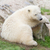 young polarbear resting stock photo © michaklootwijk