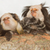four geoffroys tufted eared marmosets stock photo © michaklootwijk