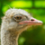 ostrich standing in a zoo in saigon stock photo © michaklootwijk