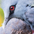 victoria crowned bird goura victoria stock photo © michaklootwijk