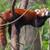 赤 · パンダ · ツリー · 自然 · 猫 · 葉 - ストックフォト © michaklootwijk