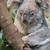 close up of a koala bear stock photo © michaklootwijk