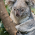soñoliento · koala · árbol · ojos · viaje · nariz - foto stock © michaklootwijk