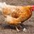falcão · verde · campo · holandês · pássaro · Águia - foto stock © michaklootwijk