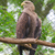 white tailed eagle stock photo © michaklootwijk