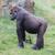 adult gorilla resting stock photo © michaklootwijk