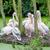 group of pelicans stock photo © michaklootwijk
