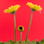 yellow gerbera flower isolated on a red background stock photo © michaklootwijk