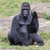 Silver backed male Gorilla stock photo © michaklootwijk