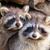 成人 · アライグマ · 巣 · 眼 · 自然 · 髪 - ストックフォト © michaklootwijk