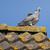 портрет · голубь · ленивый · Постоянный · тень · полдень - Сток-фото © michaklootwijk