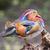 mandarin duck stock photo © michaklootwijk