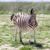 シマウマ · 肖像 · 公園 · ナミビア · 野生動物 · 写真 - ストックフォト © michaklootwijk