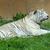 white tiger stock photo © michaklootwijk