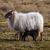 新しい · 生まれる · 子羊 · 小さな · 新しく · 草原 - ストックフォト © michaklootwijk