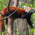 red panda firefox or lesser panda stock photo © michaklootwijk