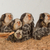 five tufted eared marmosets stock photo © michaklootwijk