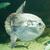 ocean sunfish mola mola in captivity stock photo © michaklootwijk