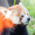the red panda firefox or lesser panda stock photo © michaklootwijk