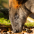 close up of an eating swamp wallaby stock photo © michaklootwijk