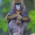 retrato · adulto · naturalismo · habitat · floresta · macaco - foto stock © michaklootwijk