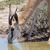springbok antelope antidorcas marsupialis close up drinking stock photo © michaklootwijk