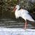 adult stork standing in the snow stock photo © michaklootwijk